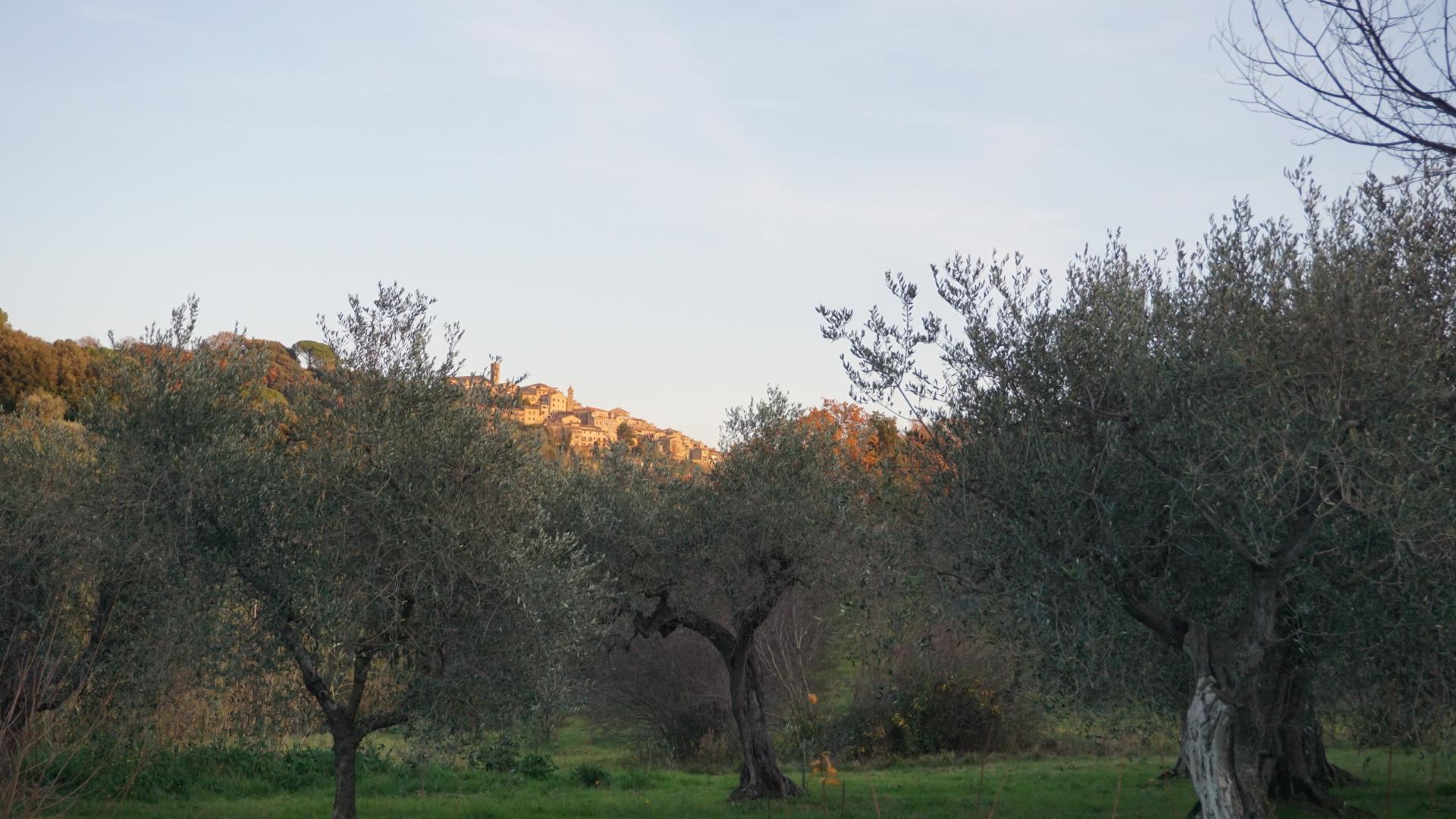 Olive - Olio Extravergine d'oliva - Casale Marittimo, Toscana - Podere Fornelli