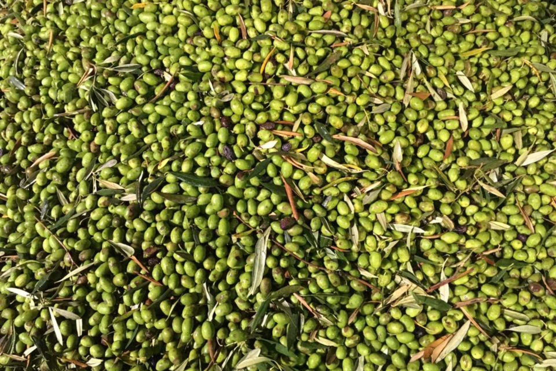 Olive, Toscana - Podere Fornelli, olio extravergine di oliva toscano
