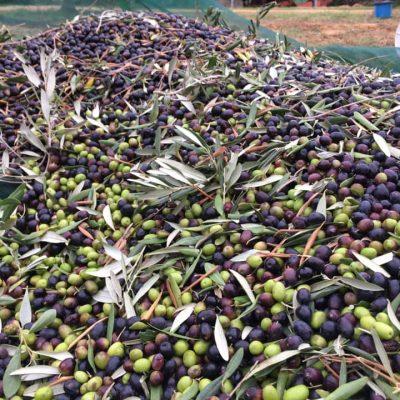 Olive di qualità - Podere Fornelli, olio extravergine di oliva, Casale Marittimo, Toscana